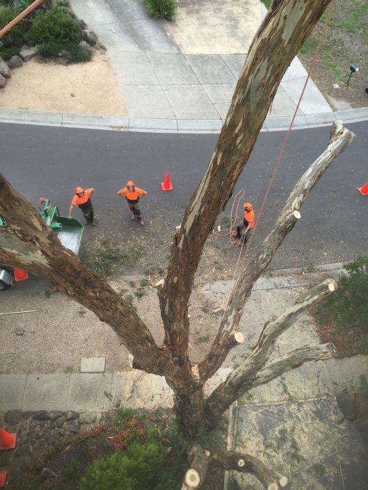 Suburban streetscape tree pruning, tree lopping and tree removal by PM Tree Lopping and Stump Removal Mt Macedon, sunbury and Macedon Ranges region.